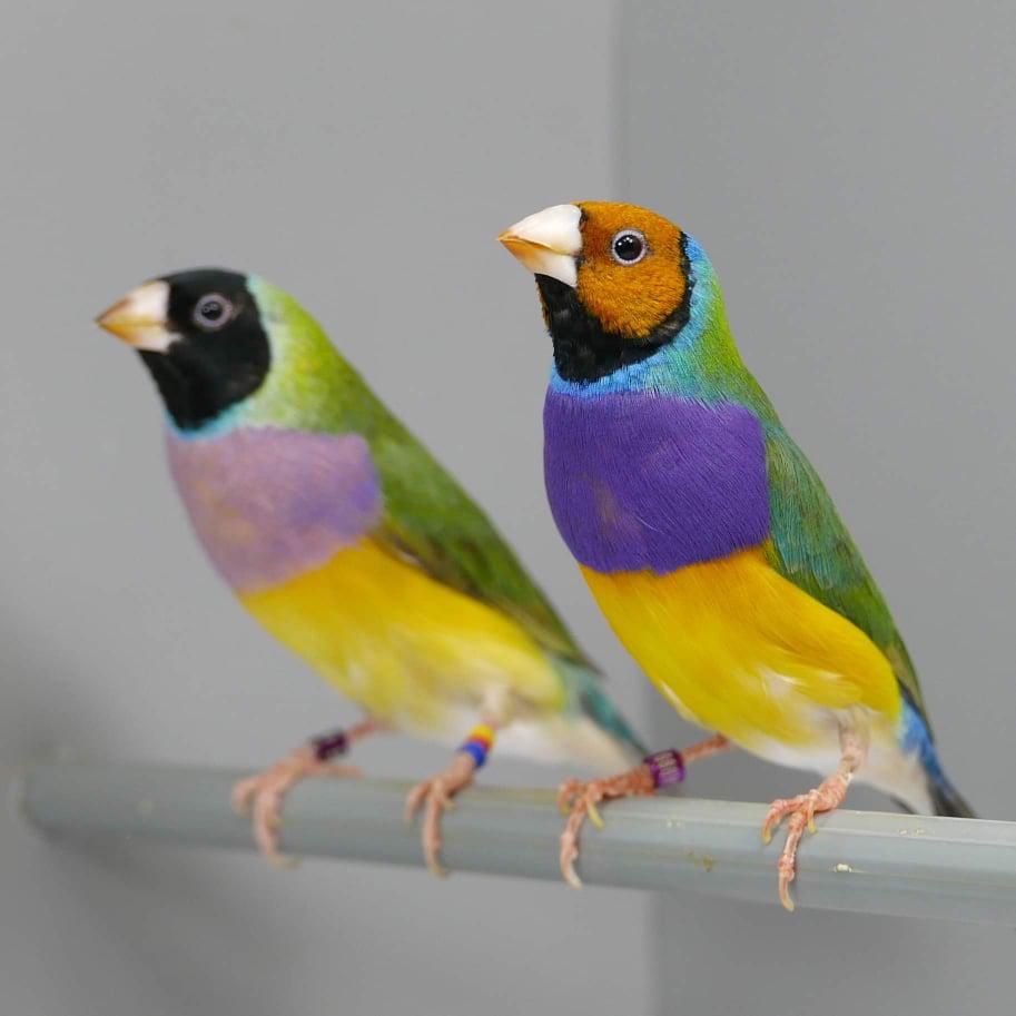 Papugi w pokoju Dyrekcji